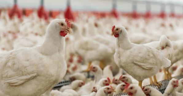 Reportan dos casos de gripe aviar en México