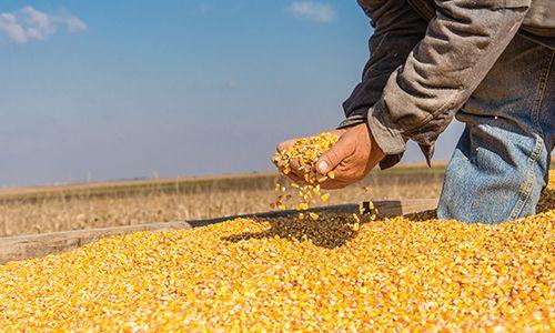 México depende de importaciones de maíz transgénico